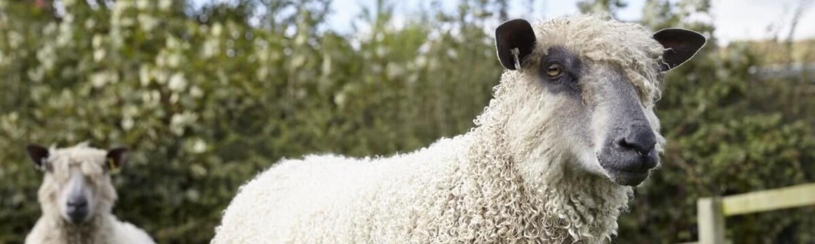W sheep 3 cropped