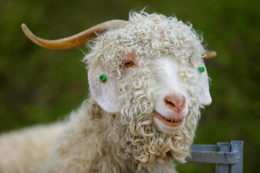 Goats 4