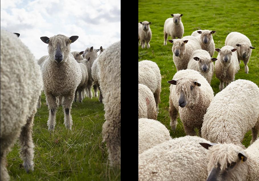 W Sheep 1 And 2