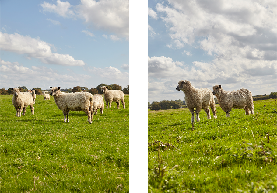 W Sheep 5 And 6