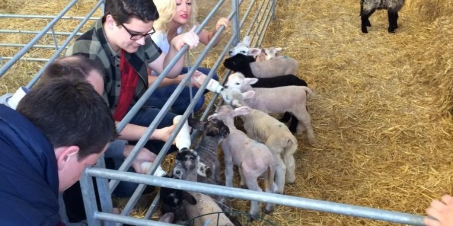 Lambs 6