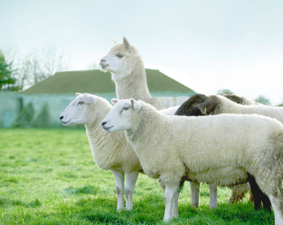 Sheep And Some Alpacas At The Somnus Farm In North Yorkshire Are Reared For Their Sumptuous Wool