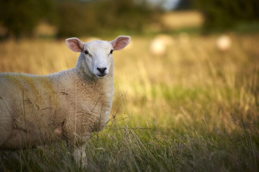 Properties Sheep 1