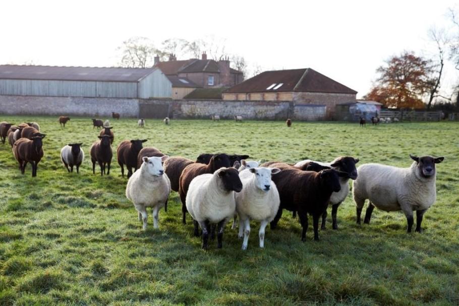 Natural Leader Sheep