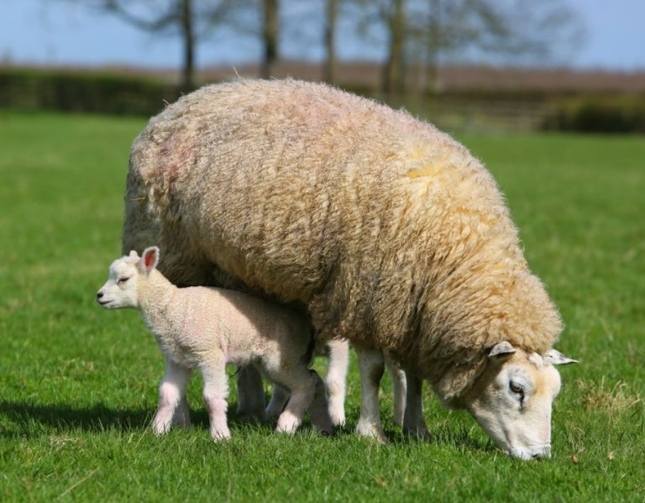 Wool Is Better Sheep