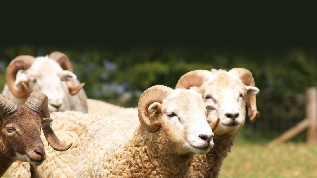 Adam henson sheep4
