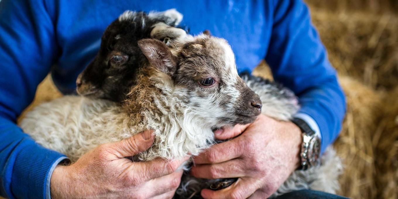 Adam henson sheep2