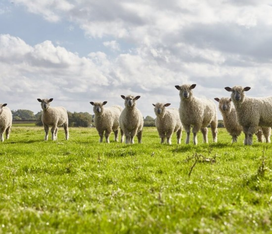 W Sheep header