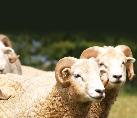 Adam henson sheep4