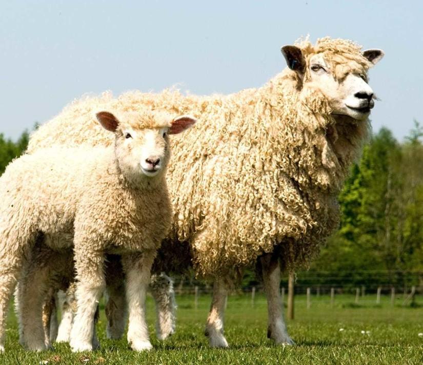 Adam henson sheep1