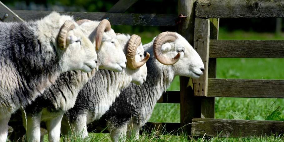 Herdwick Rams